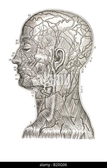 Krampfadern Gefäße des Kopfes