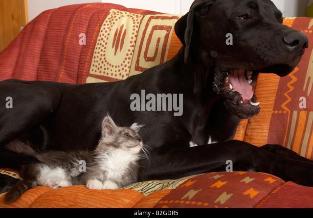 Deutsche Dogge und Maine-Coon-Katze Stockbild