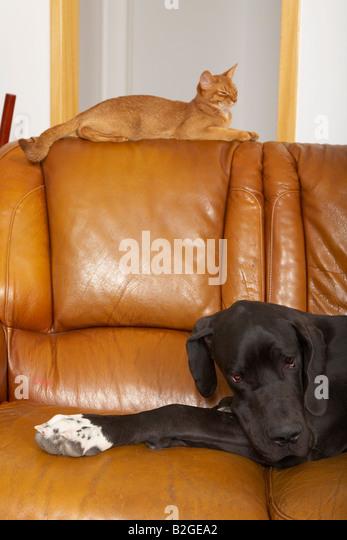 Deutsche Dogge und Abessinier Katze Stockbild