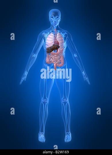 Anatomie des Menschen Stockbild