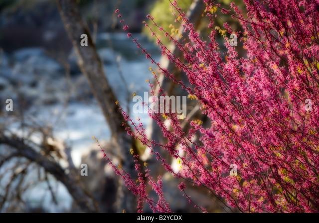 Redbud wächst in Hülle und Fülle in Ende März und Anfang April in den Merced River Canyon in Stockbild