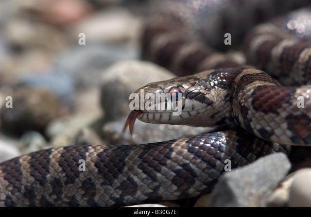 Milch-Schlange Reptil kaltblütige Schlange Stockbild
