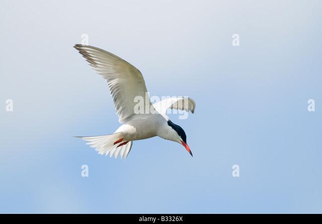 Gemeinsamen Tern Sterna Hirundo Cley Norfolk April Stockbild
