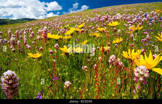 Eule s Klee und Gänseblümchen Decke einen üppigen Hügel auf der Diablo Range in zentralen Califonia Stockbild
