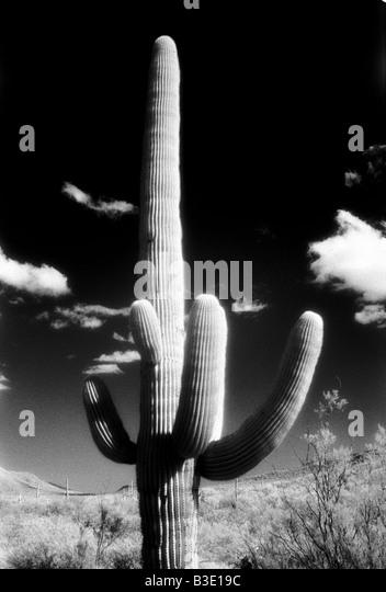 Ein einzelnes Kaktus Baum mit einem dunklen Himmel, schwarz & weiß. Arizona, USA Stockbild