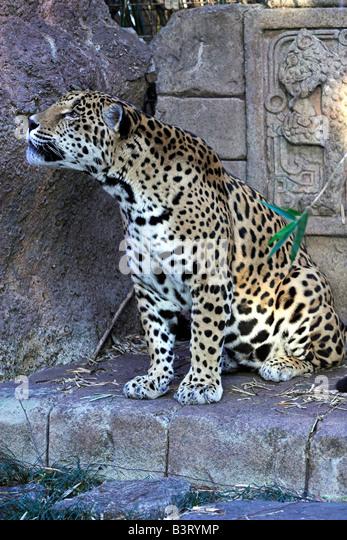 Ein Jaguar ruht im Audubon Zoo in New Orleans. Stockbild