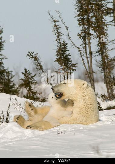 Eisbär mit Cub im Schnee Stockbild
