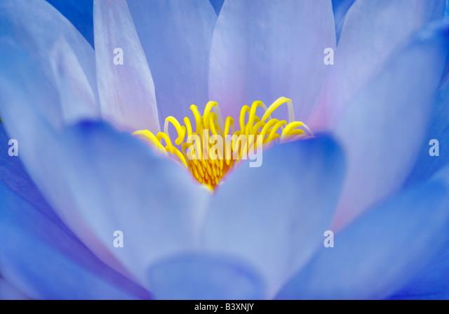 Blaue Seerose Nymphaea Gigantea Gigantea Hughes Wassergärten Oregon Stockbild