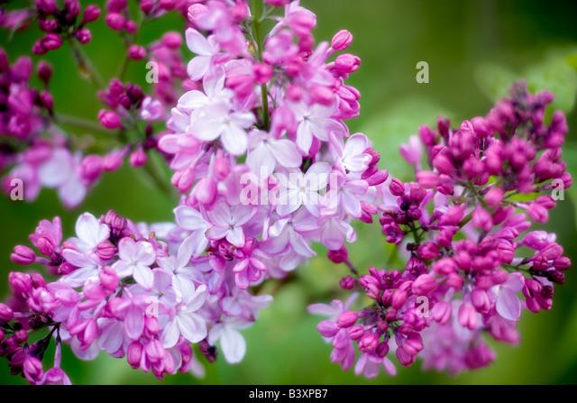 Rosa Elisabeth Flieder Cherry Blossoms Hulda Klager Flieder Gärten Woodland Washington Stockbild