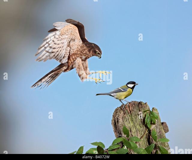 Juvenile Männchen Sparrowhawk Accipiter Nisus Kohlmeise Potton Bedfordshire nehmen Stockbild