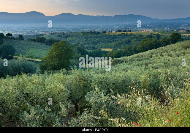 ein Olivenhain mit Blick auf das Val di Spoleto in der Nähe von Montefalco, Umbrien, Italien Stockbild