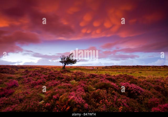 Stürmischer Sonnenuntergang über das Heidekraut Teppichboden Dunkery Hill Exmoor Nationalpark Somerset Stockbild