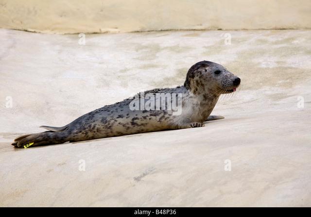 versiegeln Sie April eine grau seal Pup Halichoerus Grypus gerettet auf nationaler Heiligtum cornwall Stockbild