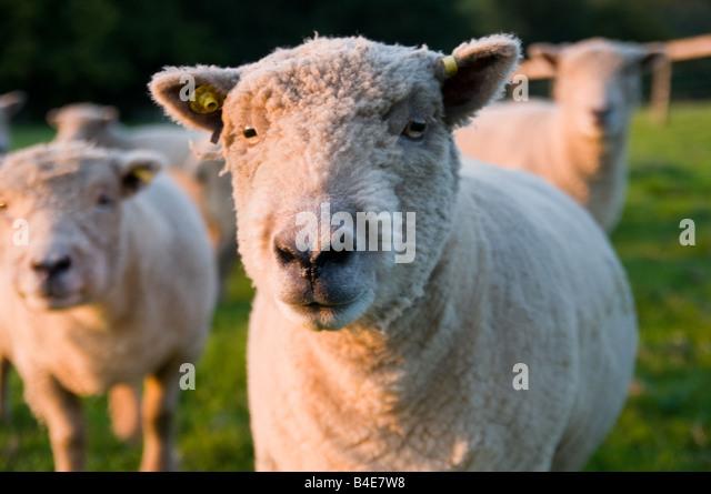 Britischen Schafen im Sonnenuntergang Stockbild