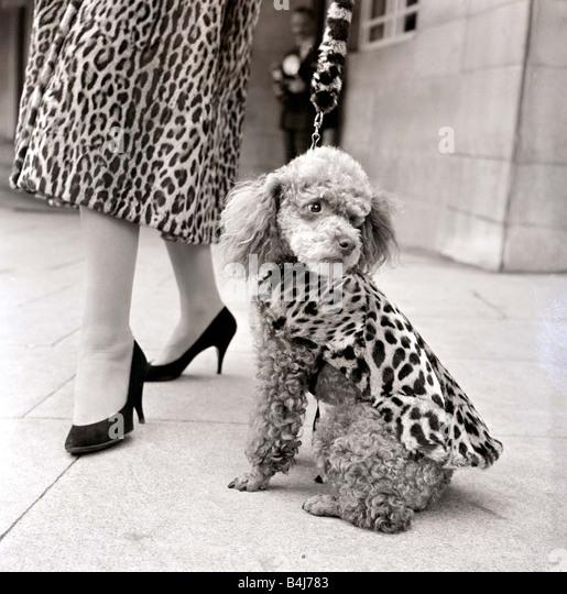 Pelzmäntel für Hunde Pudel in Leopard print Pelzmantel September 1957 1950s Stockbild
