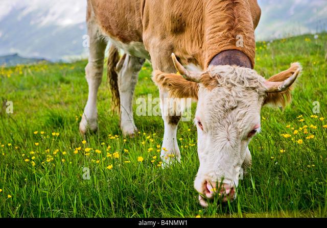 Kuh Essen Grass - Schweizer Alpen Stockbild