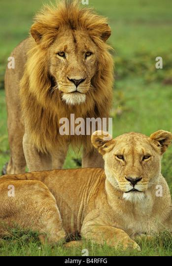 Afrikanische Löwen-Portrait Stockbild