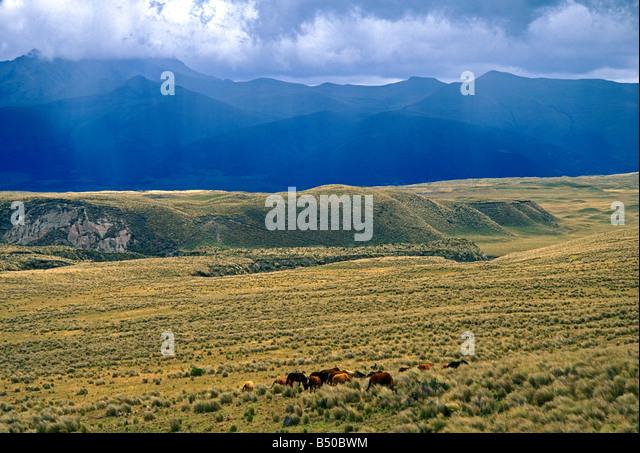 Wildpferde, Vulkan Cotopaxi, Cotopaxi, Cotopaxi Nationalpark, Nationalpark, Provinz Cotopaxi, Ecuador, Südamerika Stockbild