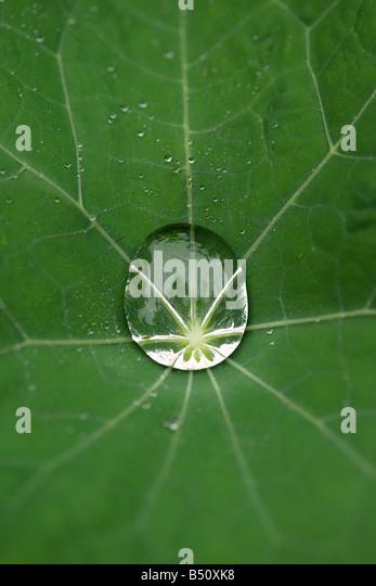 Regentropfen auf Kapuzinerkresse Blatt Stockbild