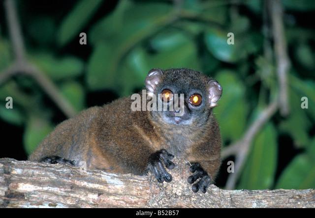 Lepilemur Dorsalis Madagaskar Afrika afrikanische madagassische Tier Freilandforschung arboreal blooded Endotherm Stockbild