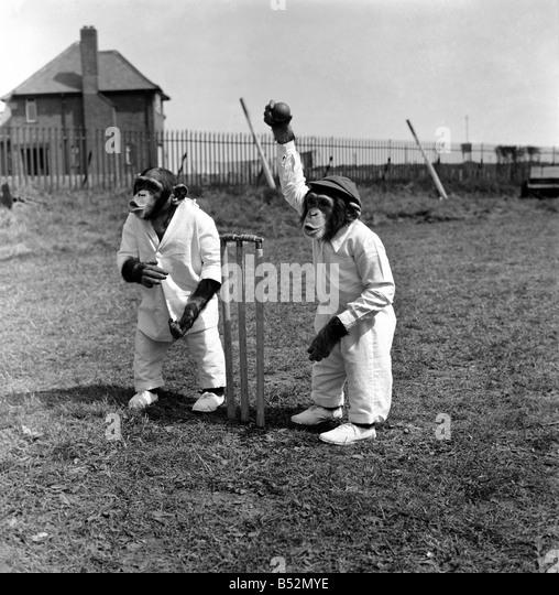 Tiere Humor Affen spielen Cricket. Mai 1953 D2836 Stockbild