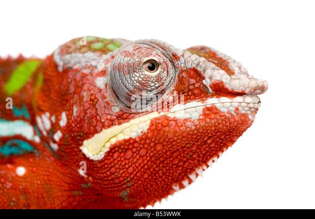 Chamäleon Furcifer Pardalis Ambilobe 18 Monate vor einem weißen Hintergrund Stockbild