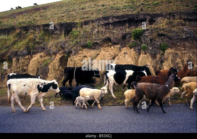 Kuh, Kühe, Schafe, Alpaka, Alpakas, Lamas, Lamas, Tiere, Haustier, Haustiere, Pujili, Provinz Cotopaxi, Ecuador, Stockbild