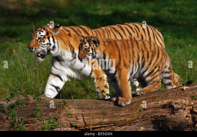 Sibirischer Tiger mit jungen gehen nebeneinander Stockbild