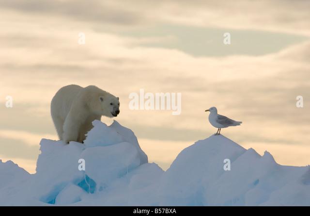 Junge männliche Eisbären am Rande Scholle mit Arctic Sea Gull Lancaster Sound Nunavut Kanada Arktis - Stock-Bilder