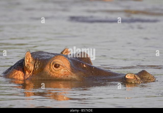 Flusspferd (Hippopotamus Amphibius), Serengeti Nationalpark, Tansania, Ostafrika, Afrika Stockbild