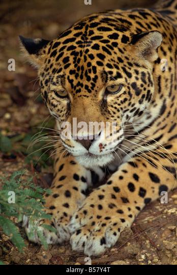 Jaguar, Belize, Mittelamerika Stockbild