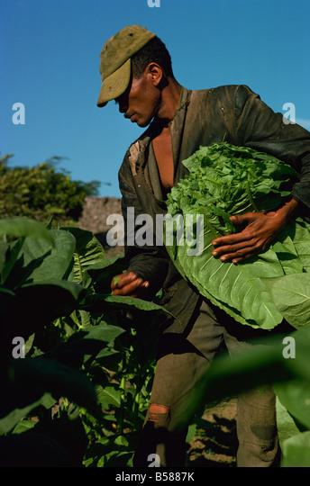 Kommissionierung Tabak, Santiago, Dominikanische Republik, Karibik, Mittelamerika Stockbild