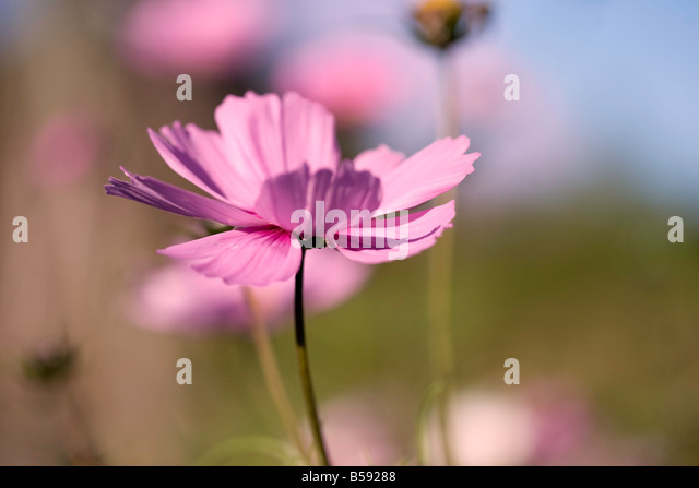 Rosa Cosmos Stockbild