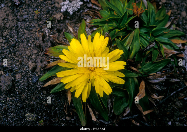 Gelbe Blume, Cotopaxi Nationalpark, der Provinz Cotopaxi, Ecuador, Südamerika Stockbild