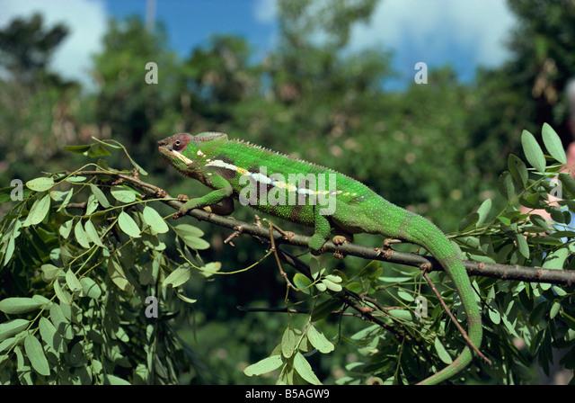 Chamäleon-Madagaskar-Afrika Stockbild