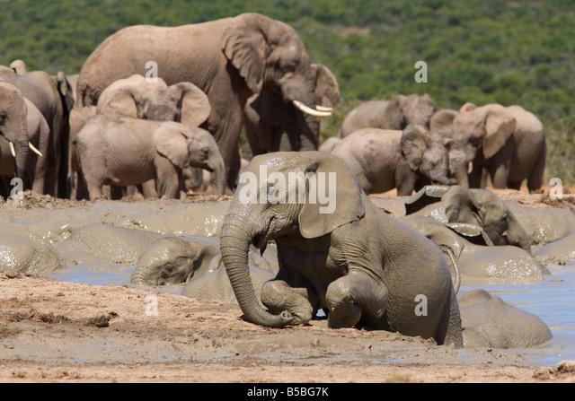 Mudbathing afrikanischer Elefant Loxodonta Africana), Addo Elephant National Park, Südafrika, Afrika Stockbild