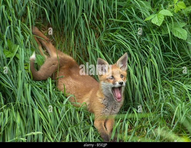 Red Fox Cub Vulpes Vulpes entspannen und Gähnen Stockbild