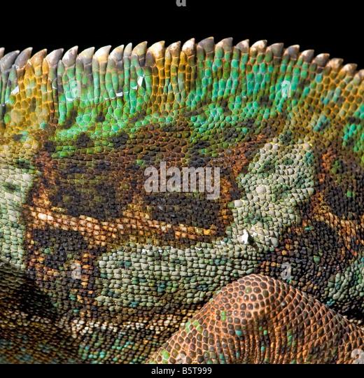 Männlich, verschleiert oder Jemen Chamäleon Chamaeleo Catytratus skalieren Muster Stockbild