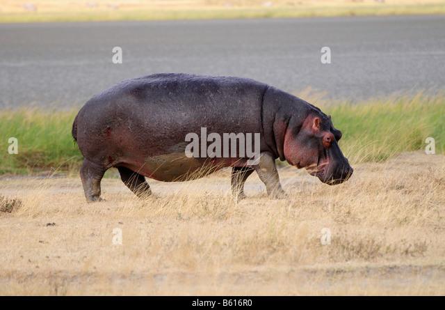 Flusspferd (Hippopotamus Amphibius), Ngorongoro-Krater Ngorongoro Conservation Area, Tansania, Afrika Stockbild
