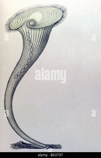 Ciliata / Wimperlinge Name Stentor, Haeckel, Kunstformen der Natur, Jugendstil, 20. Jahrhundert, Europa Stockbild