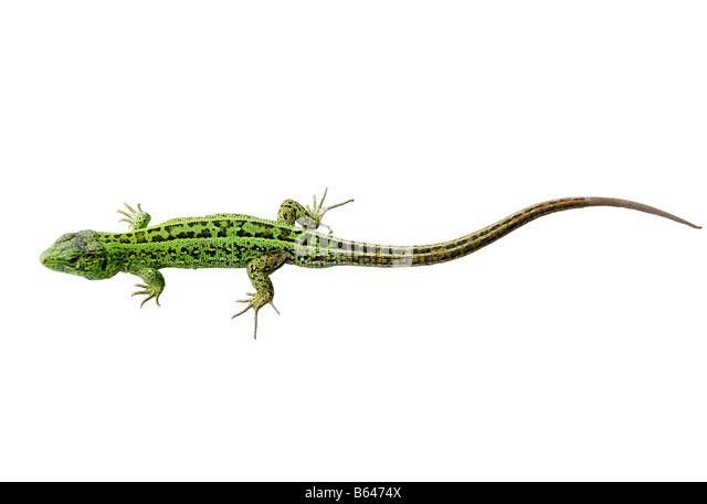 Smaragdeidechse isoliert auf weißem Hintergrund Stockbild