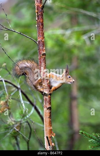 Finnland, Ruhtinansalmi, in der Nähe von Suomussalmi Wildlife Centre Martinselkonen Erakeskus. Eurasische Eichhörnchen. - Stock-Bilder