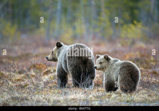 Finnland, Ruhtinansalmi, in der Nähe von Suomussalmi Wildlife Centre Martinselkonen Erakeskus. Braunbär. - Stock-Bilder