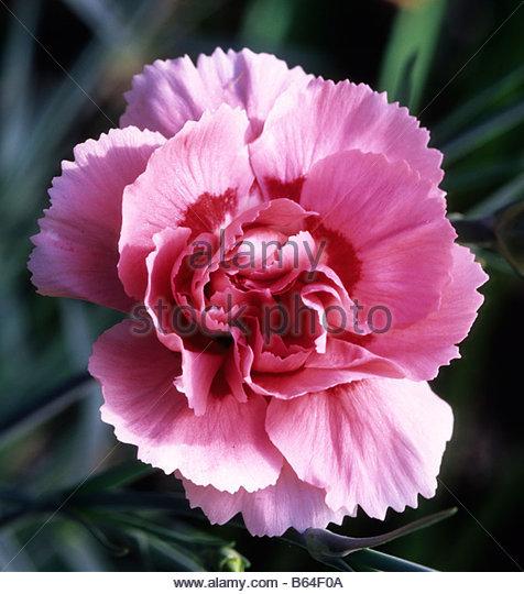 altmodische rosa Dianthus Doris Stockbild
