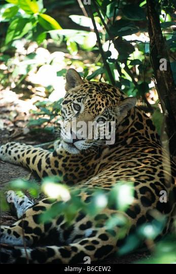 Jaguar (Panthera Onca) Festlegung inmitten von Laub im Belize Zoo Stockbild