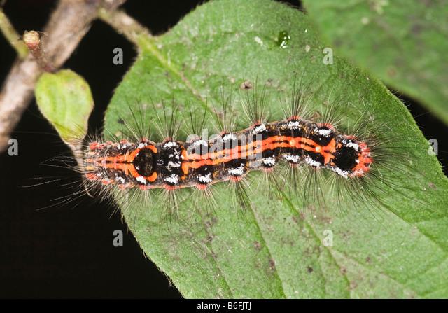 Caterpillar ein gelb-Tail Moth (Euproctis Similis) Stockbild