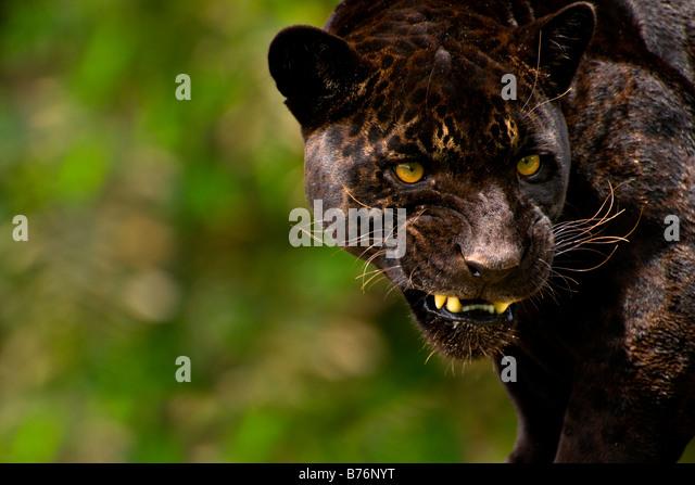 Panther oder schwarzer Jaguar Panthera Onca Knurren Stockbild