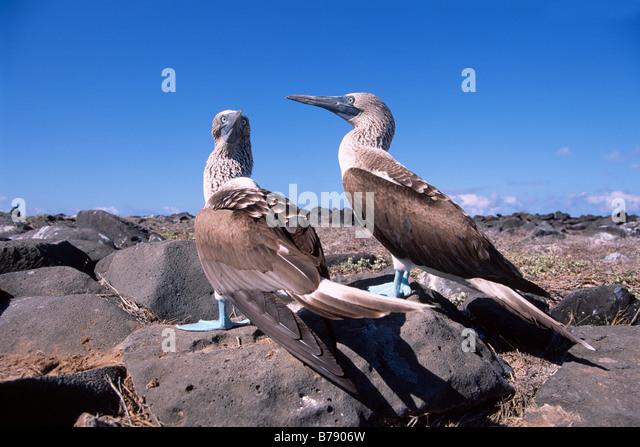 Blau-footed Booby paar (Sula Nebouxii) Insel Espanola, Galapagos Inseln, Galapagos-Inseln, Ecuador, Südamerika Stockbild