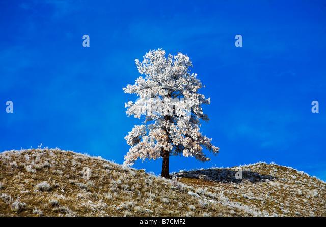 Eine einsame Schnee bedeckten Baum auf die Landschaft Stockbild