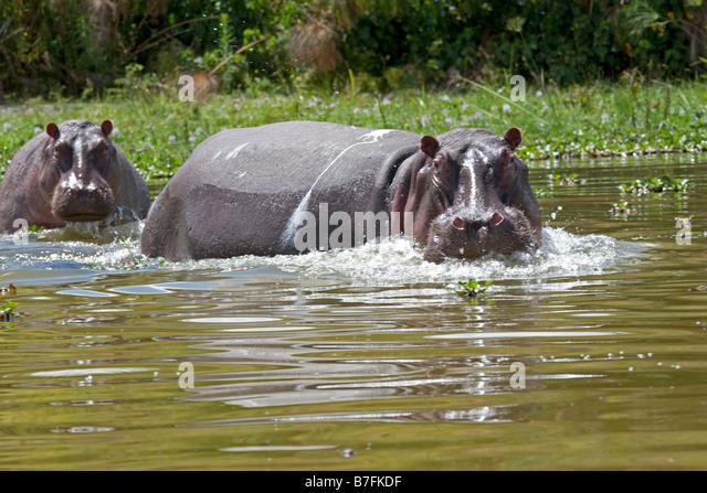 Wütend Nilpferd Lake Naivasha Kenia Stockbild